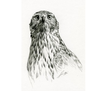 Goshawk Sketch